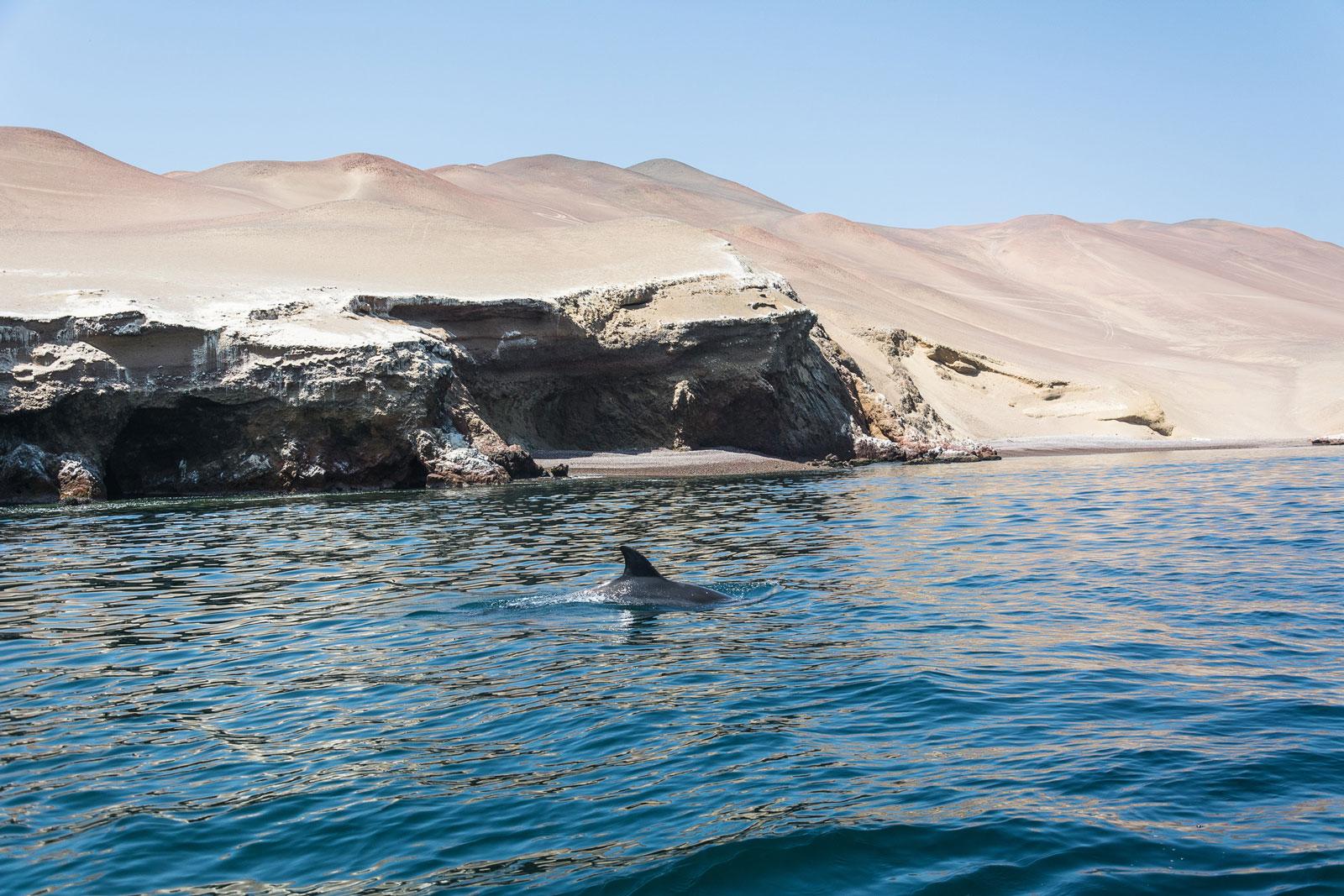 paracas ballestas dauphin