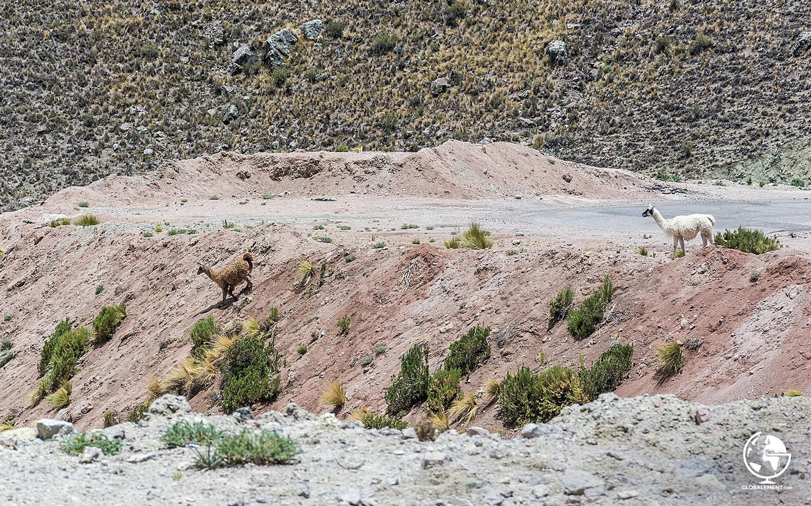 Lamas Pérou Chivay